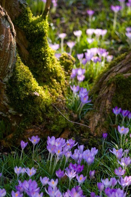 Ein Blütenteppich aus Krokussen.