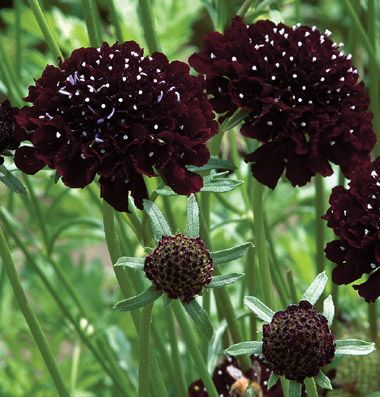 Johnny's Selected Seeds - Scabiosa (Pincushion Flower) - Black Knight