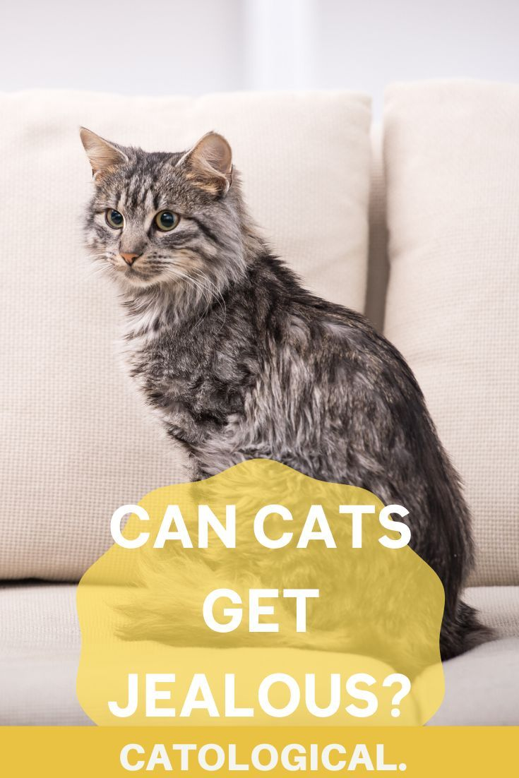 Can Cats Feel Jealous Of Cats Dogs Or Humans Signs And Behaviors In 2020 Cats Cat Facts Cat Advice