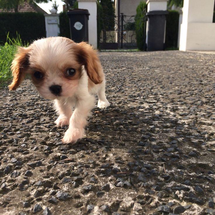 Lui <3  8 week old  -cavalier king charles spaniel-