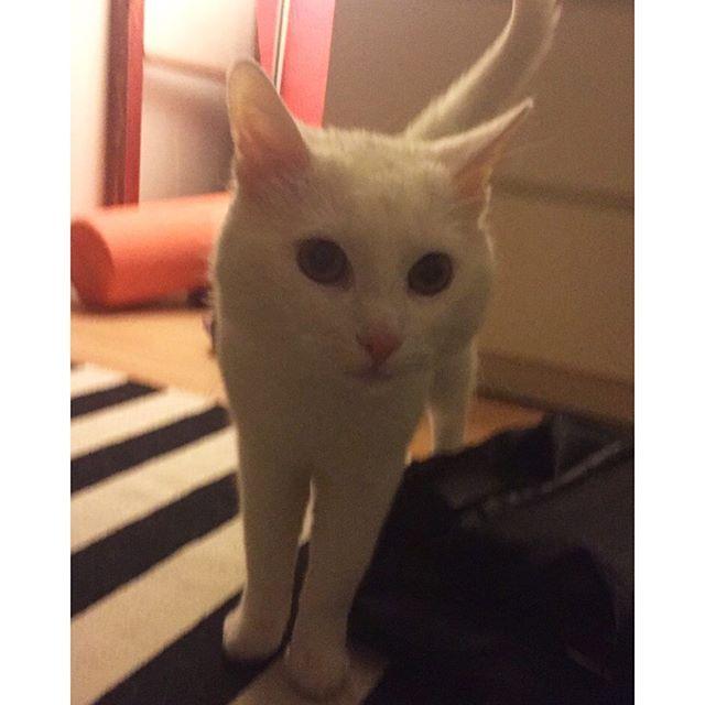 Minulla on tänään suuri päivä ja sen takia lisään kaksi kuvaa päivässä.. Paras ystäväni Milo täyttää tänään vuoden ❤ Onnitteluja Milolle, odottelen vieläkin sitä päivää kun liityt instagramiin  #milo #birthday #birthdayboy #bestfriend #bestfriendsforever #veli #catfriends #cat #cutecat #catgoals #milocat #catoftheday #miu