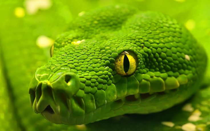 Image detail for -Green Snake Wallpaper 02