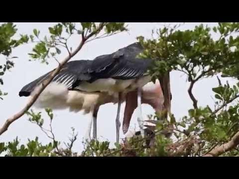 video van de Afrikaanse maraboe - vogelplein