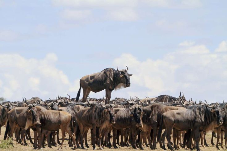Highly Commended: A blue wildebeest stands on a mound in Masai Mara, Kenya. - Jean Jacques Alcalay/CWPA/Barcroft Images