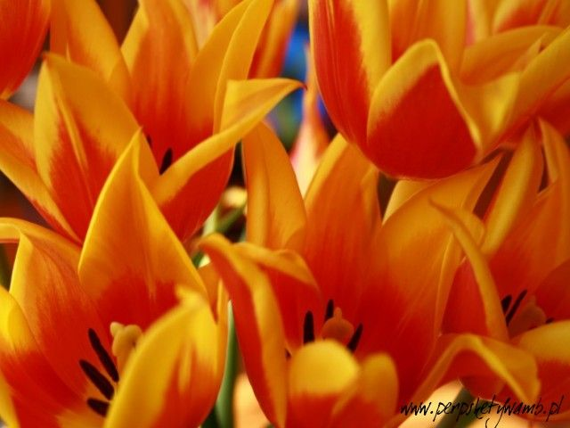 tulips - I also recommend - www.perspektywamb.pl