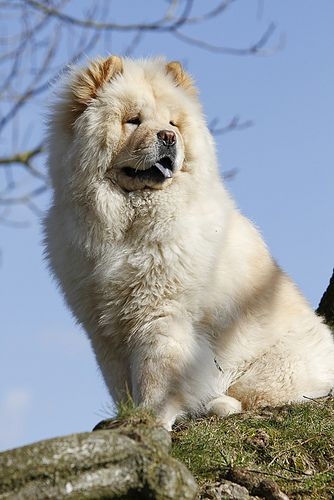 Chow-chow, via Flickr.