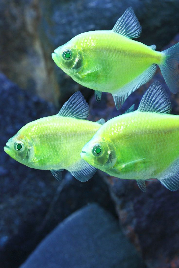 10 best GloFish - Born Brilliant images on Pinterest | Fish ...