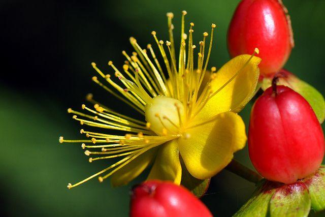 les 25 meilleures id es de la cat gorie arbuste a fleur jaune sur pinterest arbuste fleurs. Black Bedroom Furniture Sets. Home Design Ideas