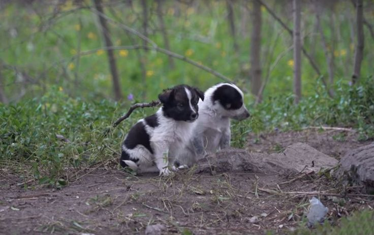 Cientos de perros vagan por los pueblos fantasmas abandonados en la zona del desastre nuclear de Chernóbil en 1986