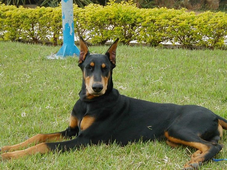 Doberman breeders in pa with doberman pinscher puppies for sale! Description from dogbreedspicture.net. I searched for this on bing.com/images