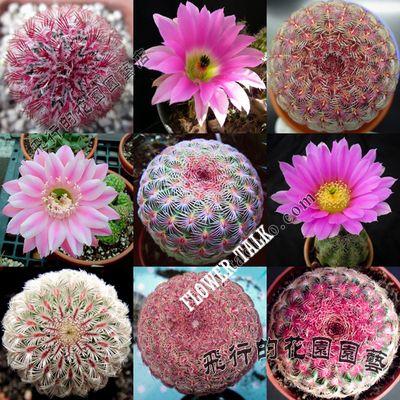 Смесь 20 или 40 семена цветущих сочные растения мини кактус растения бонсай сочные растения семена флористика sementes