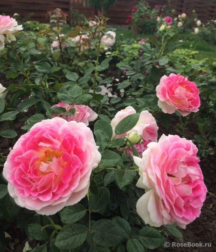 роза Guernsey: 17 тыс изображений найдено в Яндекс.Картинках