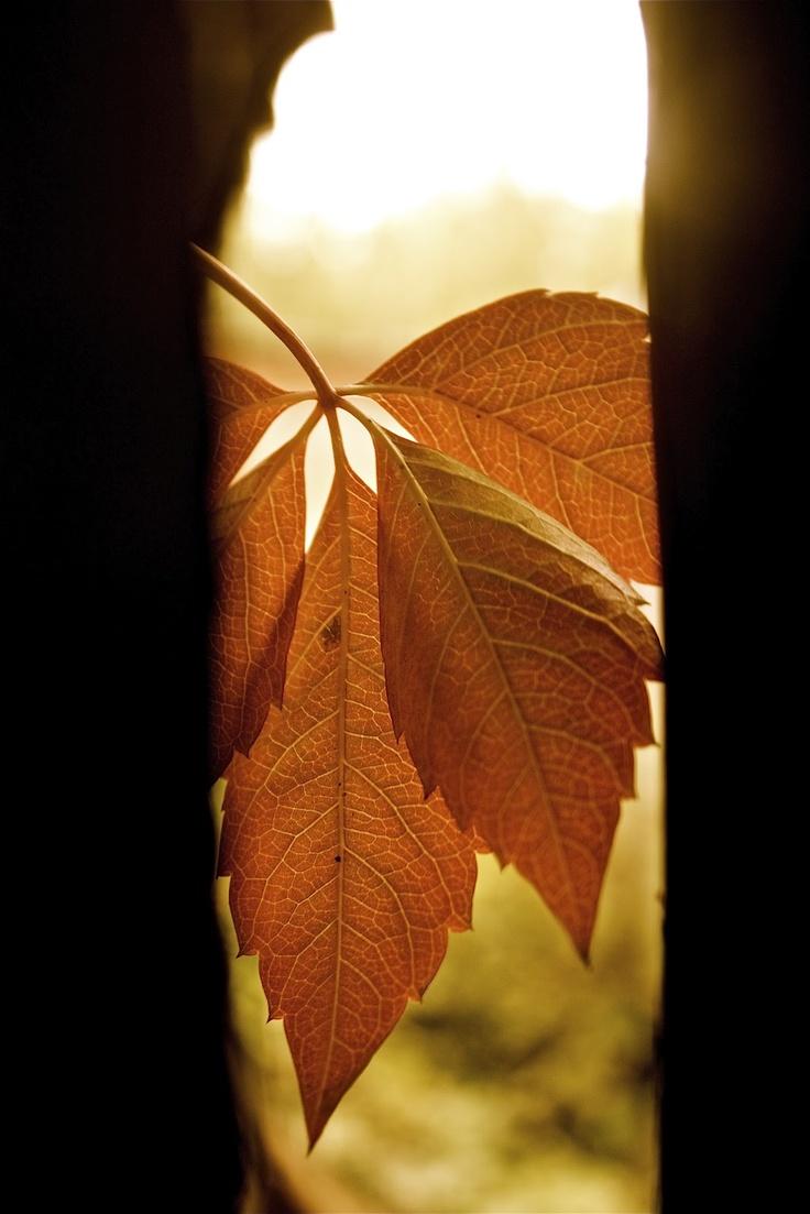 тонкая материя: Девичий виноград