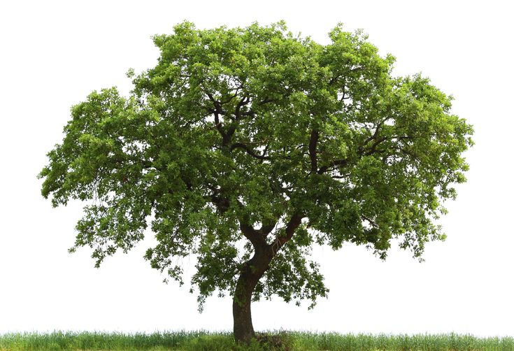 Loan Oak Tree | Free Images at Clker.com - vector clip art online ...