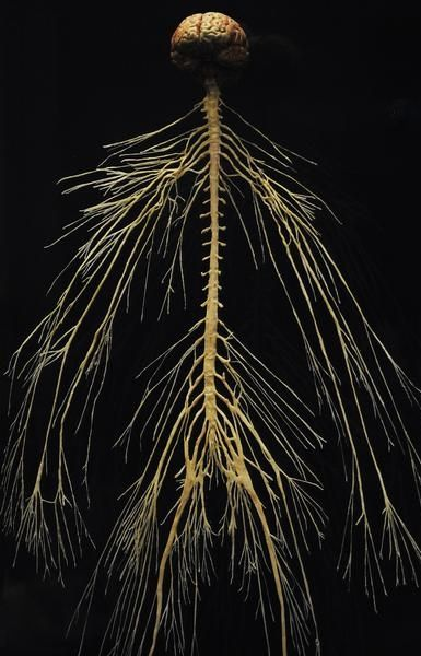 How do you feel? This is how, the simple elegance of evolution. Love, fear, happiness quietly traveling on these slim roads...the central and peripheral nervous system (this is of a plastinated cadaver.)