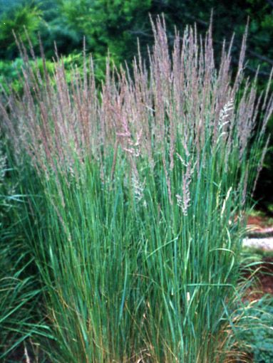 9 best fenceline privacy plants for shosho esq images on for Best tall grasses for privacy