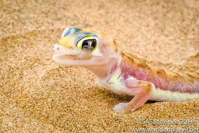 Web-footed gecko (cleaning its eye)