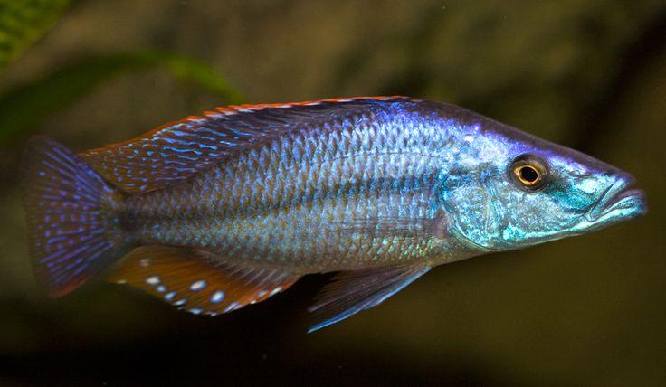 Dimidiochromis Compressiceps - Malawi Eye Biter