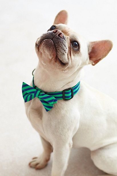 French Bulldog in Striped Bow Tie.