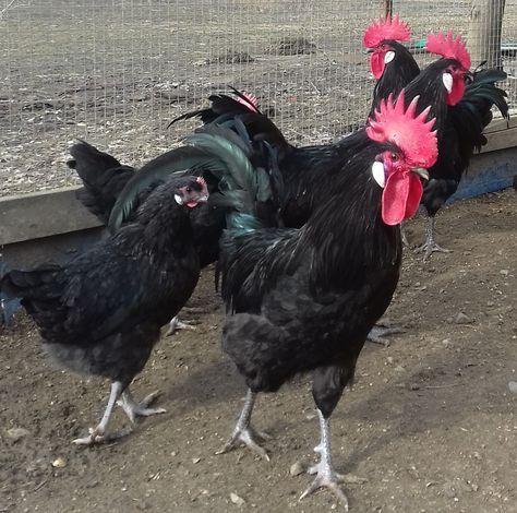 Инкубационное яйцо кур породы Барбезье Краснодар Продаю инкубационное яйцо кур породы Барбезье -150р. Орпингтон, Легбар, Джерсийский гигант - 80р. Пушкинская- 60р.