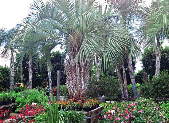 Butia capitata | Pindo Palm - Moon Valley Nursery