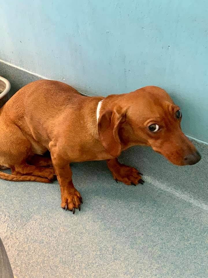 4 24 19 Dumped Dachshund Puppy Terrified At High Kill Shelter