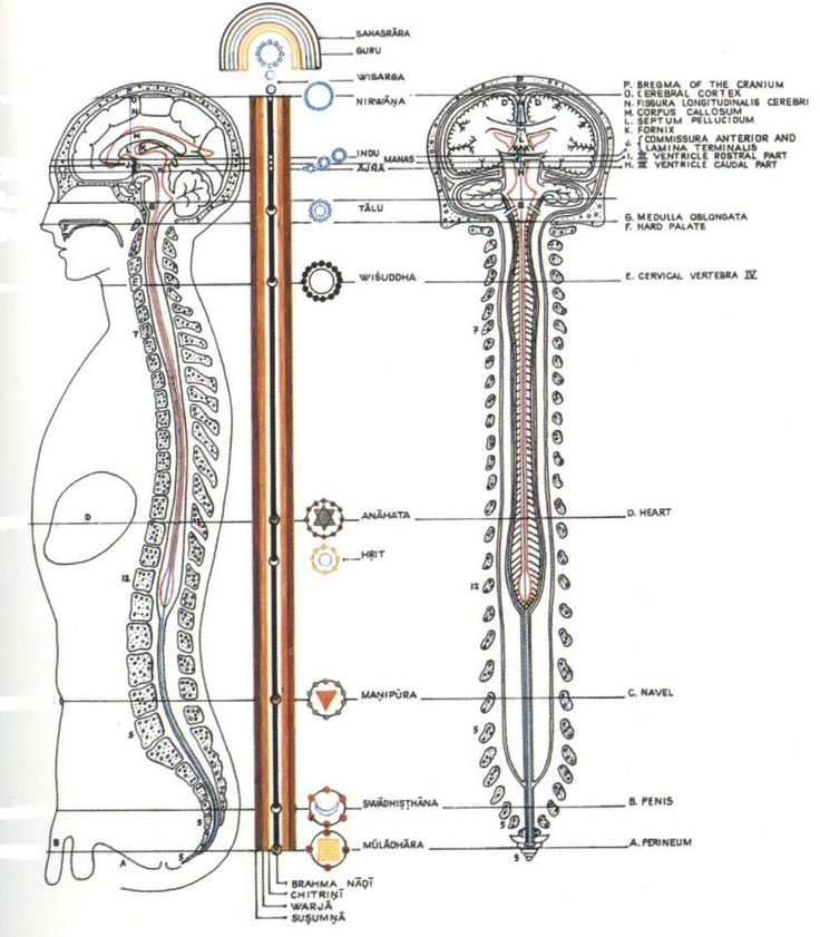 """Kundalini Shakti resides in a coiled form (also known as Serpent Energy) at the bottom of our spinal cord. Once the Kundalini Shakti gets """"diksha"""" (direction), it starts flowing from the bottom of our spine where the brain can completely alchemize its energy into vital hormones and higher spiritual energy. Once a full Kundalini has been awakened, it completes the circuit from the genital parts to the brain through the spine."""
