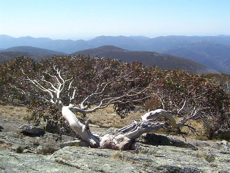 Eucalyptus niphophila in Namadgi National Park