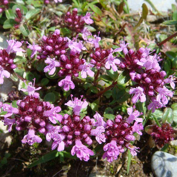 Stortimjan i gruppen Fröer / Krydd- och Medicinalväxter / Kryddväxt hos Impecta Fröhandel (3191)