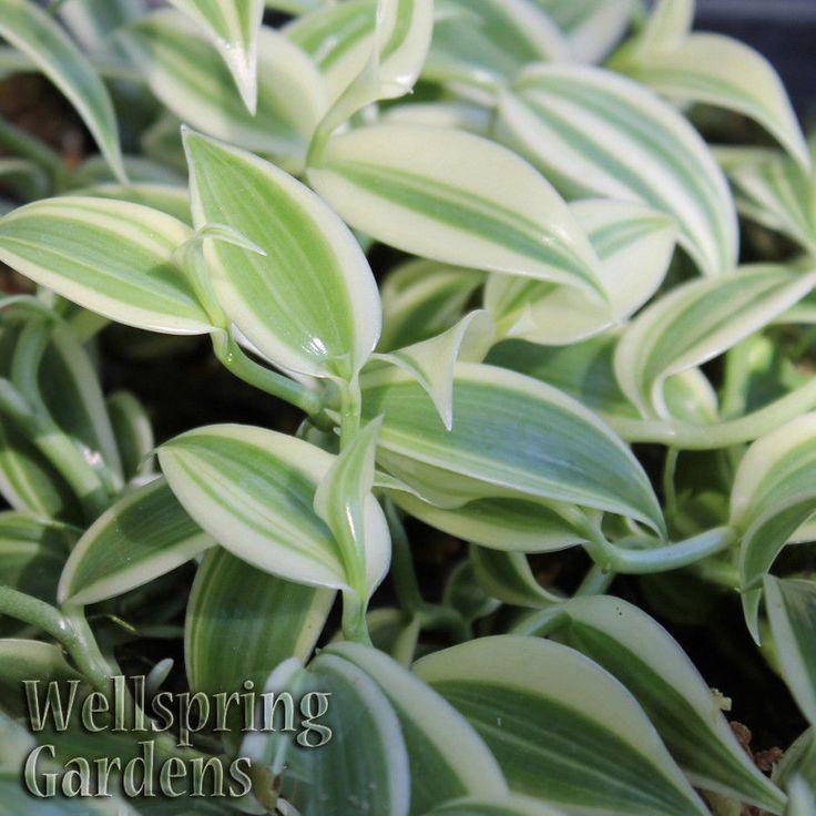 Vanilla Planifolia Variegated Leaf Spice Plant Live
