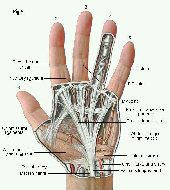Hand Anatomy. Pinned by OTToolkit.com. Treatment plans and patient handouts for the OT working with physical disabilities and geriatrics.