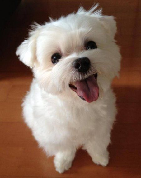 Cute Adorable Little Happy Maltese Puppy