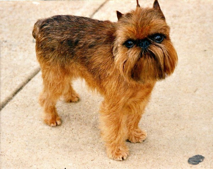 Griffon Bruxellois Dog Breeds Griffon Dog Hypoallergenic Dog Breed