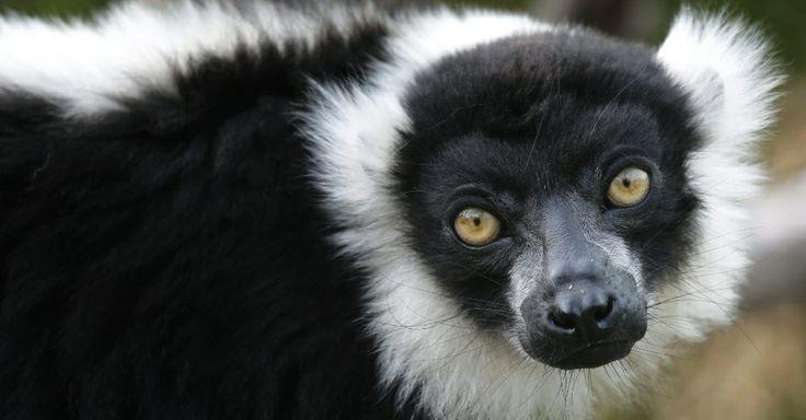 Lêmur rufo branco e preto no zoológico de Ueno, em Tóquio, no Japão.           Olho Mágico - Fotos - UOL Notícias