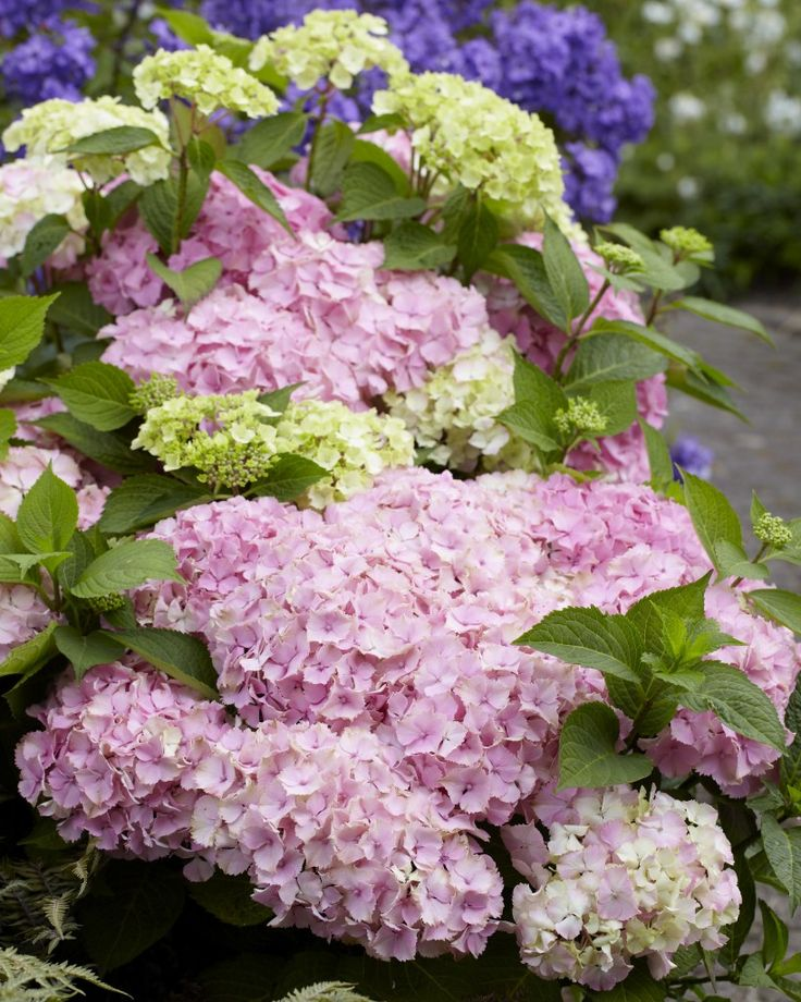 17 best images about hydrangeas on pinterest hydrangea. Black Bedroom Furniture Sets. Home Design Ideas