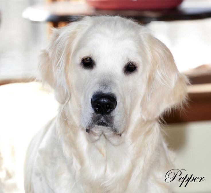 Golden Retriever Puppies,White,Cream,AKC CERTIFIED,NJ Breeders,MD,CT,MA,DE,RI,NY,PA,VA,OH,TX,NH,VT,ME,CA,IN,WI,NC,MI,AZ,English