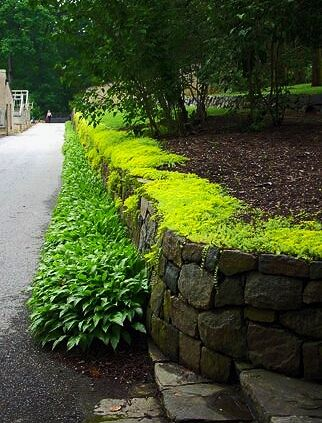 Great Groundcover: Sedum 'Angelina'. It grows in sun or shade, with moist soil or dry, and spreads like crazy. It even plants itself from broken stems that blow around the yard! It's a gorgeous yellow green, and gets yellow flowers in early summer, but they aren't really attractive to bees. Works in beds, containers, or between pavers. It is semi evergreen, and gets a cool bronzy tip in the winter. Here you see it with hostas.