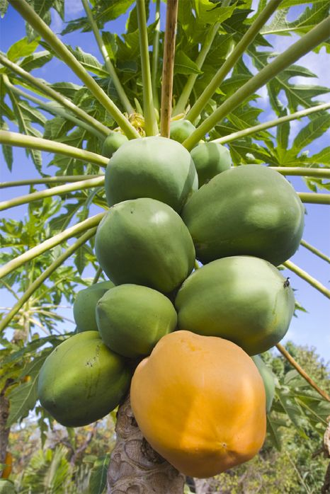 Papaya tree green papayas are for chicken with ginger stew and ripe papayas are for breakfast love them❤️❤️❤️❤️❤️