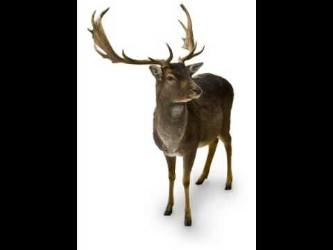 Reindeer Facts - Facts About Reindeers