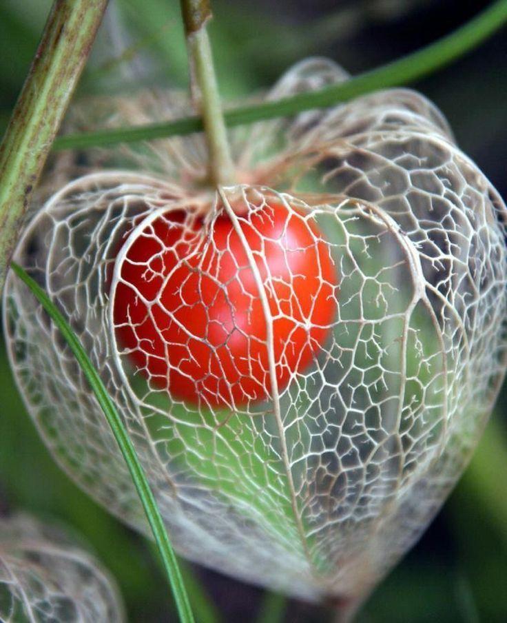 Fruit seed - Physalis Chinese Lanterns ground cherry golden Gooseberry Goldenber