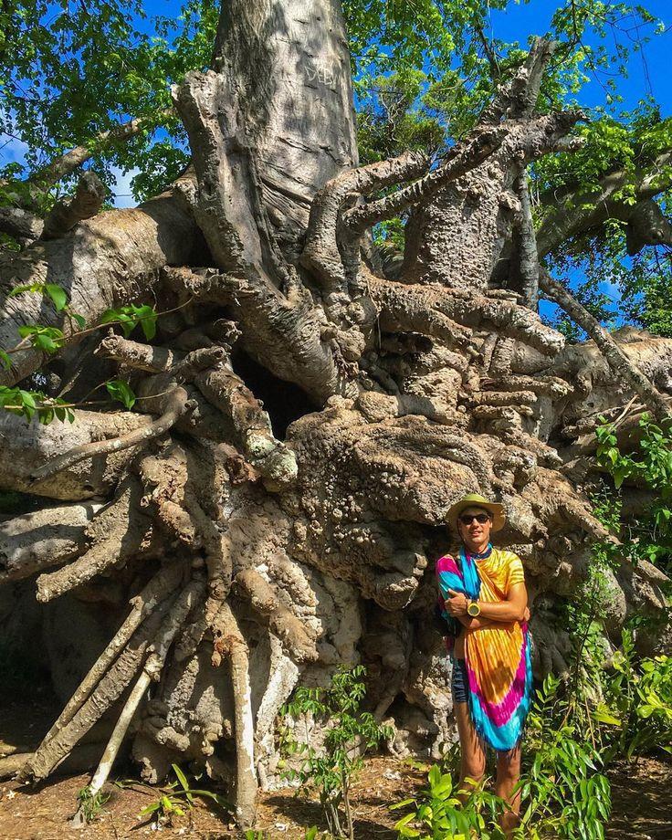 Корневая система баобаба  очень впечатляет! #island  #zanzibarisland #БАОБАБ #massai #baobab #tree