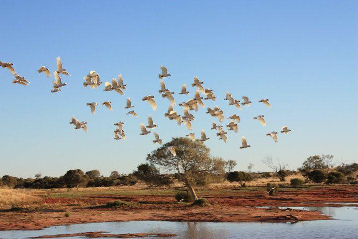 <3 #australia #outback #birds #wetakethepacific