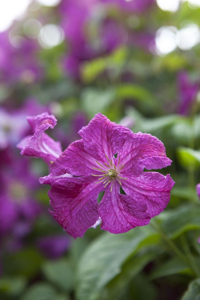 Clematis 'Abundance': a late-flowering clematis bearing small, wine-red flowers which appear from mid-summer to early autumn. Great for training into shrubs, trees and climbing roses. Find out more: http://www.gardenersworld.com/plants/clematis-abundance/1029.html Photo by Jason Ingram