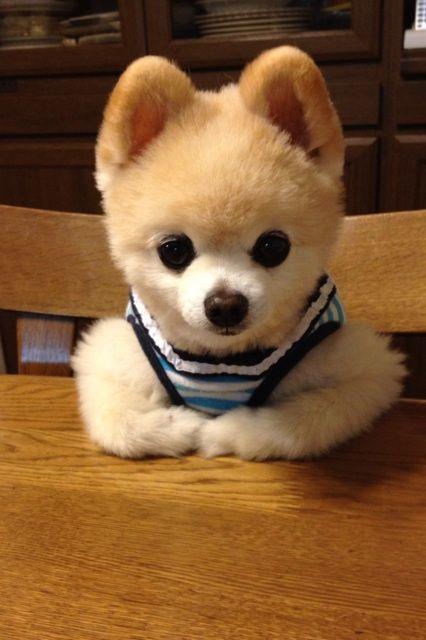 Pomeranian, Shunsuke 俊介君 : actually ,what I wanna tell you is ...