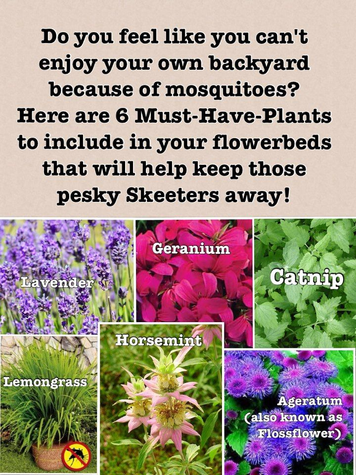 Plants to have in your flower beds that will deter mosquitos                                                                                                                                                                                 More
