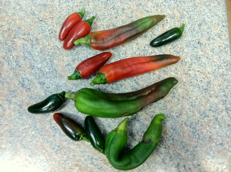 Harvest A Few Jalapenos And Hatch Green Chilies Today From Our Indoor  Garden Here At Growers House.