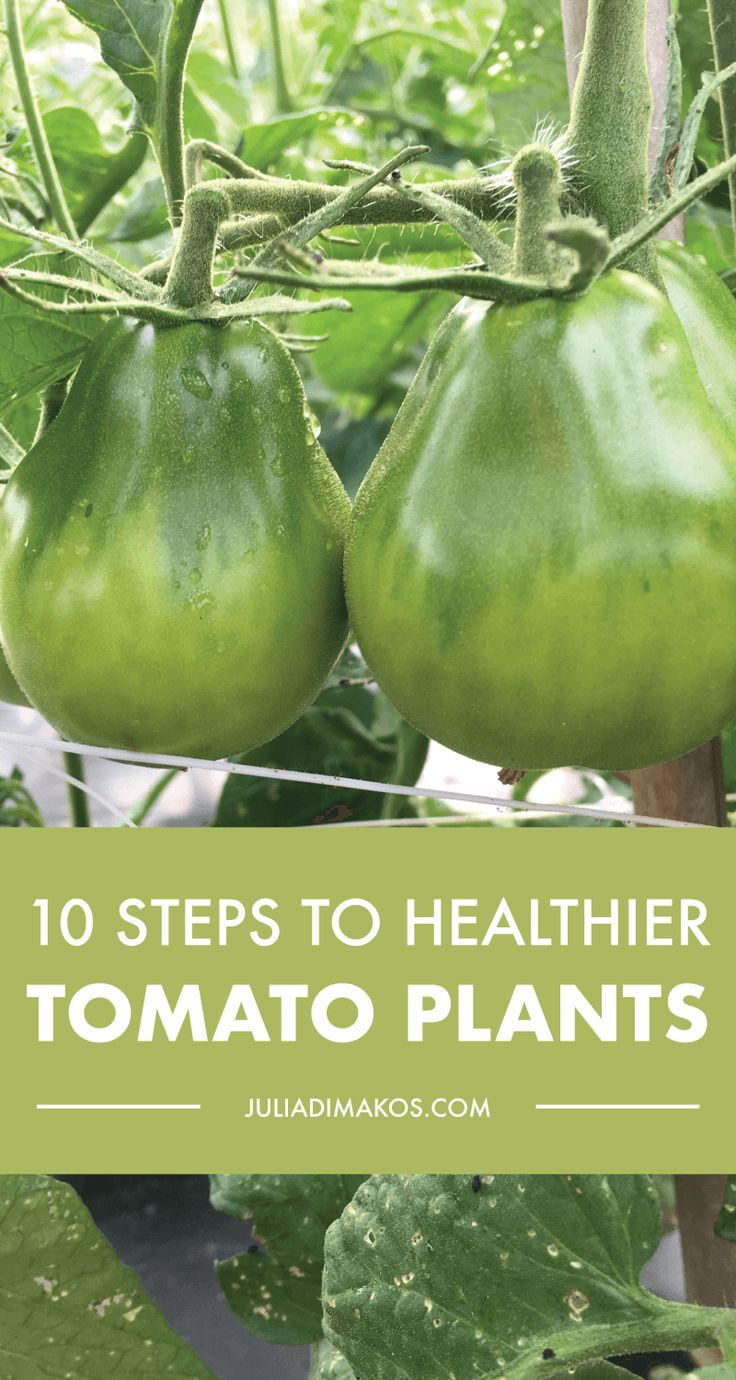 10 Steps to Healthier Tomato Plants
