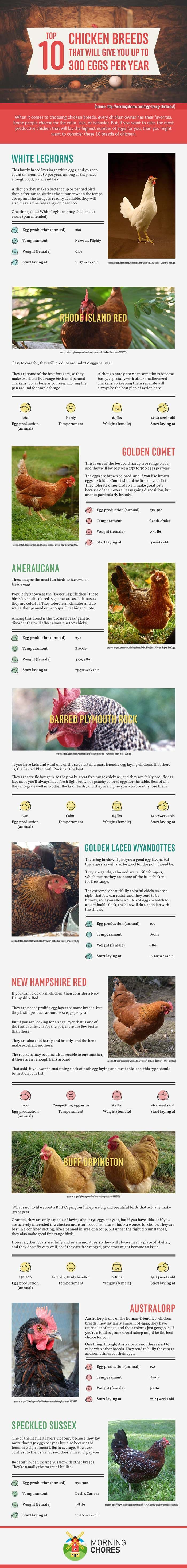 10 Best Egg Laying Chicken Breeds (up to 300 per Year!)