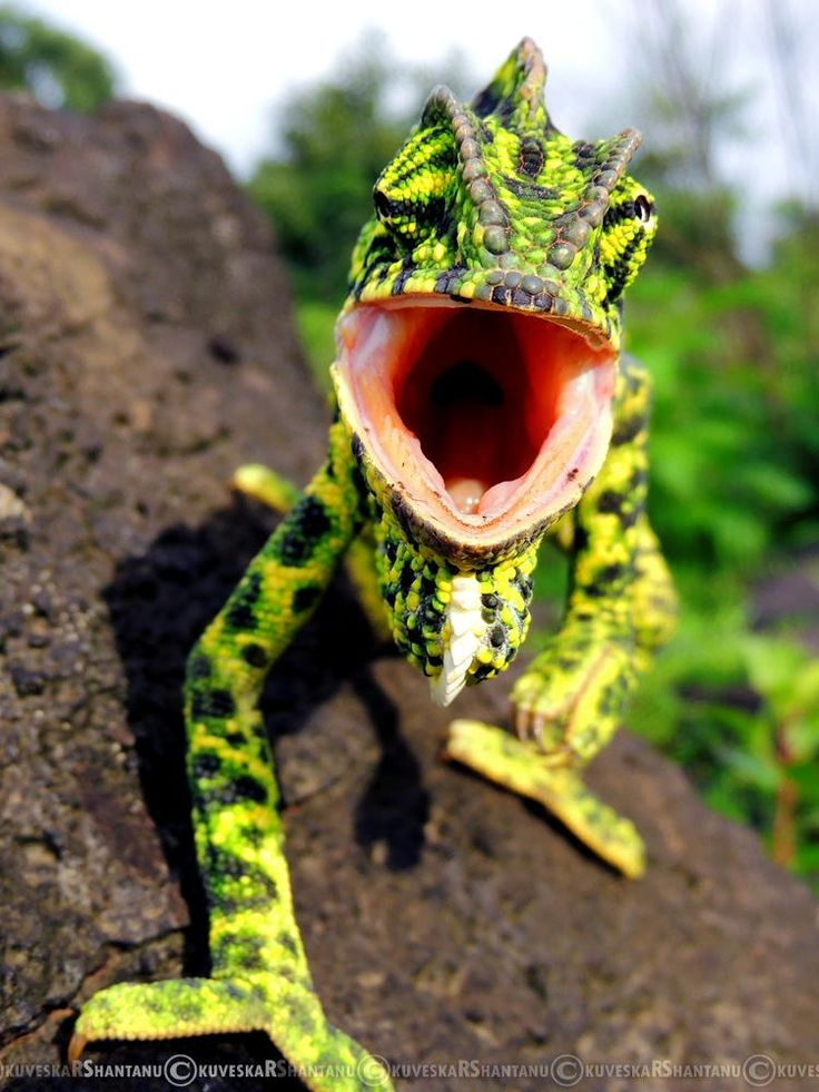Angry Fella... Indian Chameleon (Chamaeleo zeylanicus)                                                                                                                                                                                 More