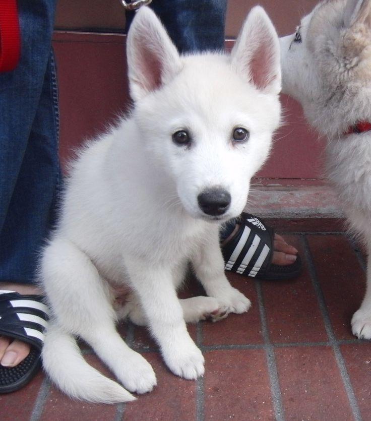 snow white Siberian Husky